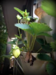 budding strawberry